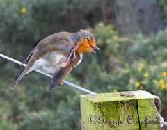 Scratching Robin (g crawford) Tags: crawford ayrshire northayrshire robin bird scratch preen red redbreast