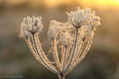 Freezing sunrise (Manon van der Burg) Tags: ijskristallen sunrise glow decay bokeh frost freezing winterwonderland macro macrophotography depthoffield sony leftoverfromsummer uitgebloeid wintermorning frisseneusgehaald