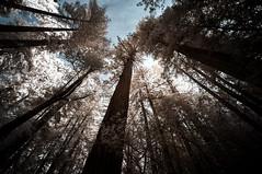 Redwoods Infrared (ZippZopp) Tags: none redwood redwoods ir infrared sony nex trees forest