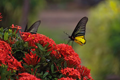 Butterfly (Colin Kavanagh) Tags: butterfly nature wildlife insect insects flowers butterflies yellow red green thailand thai nongkhai 700d tamron t5i ngc