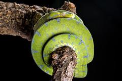 Green Tree Python, CaptiveLight, Bournemouth, Dorset, UK