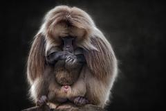 Today is probably a day of rest (ellen-ow) Tags: affen blutbrustpaviandschelada pavianartige sommer sugetier monkey tier ellenow nikond4