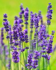 English Lavender (Swallowtail Garden Seeds) Tags: lavender lavenderflowers perennial perennialflowers englishlavender lavandula lavandulaangustifolia purple flower macro swallowtailgardenseeds