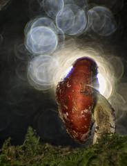 X-Ray Mushroom (HelmiGloor) Tags: amanitamuscaria meyergörlitz28100mmtrioplan trioplan olympusem1 fliegenpilz wulstling pilz pilze macro makro wald forest dittingen