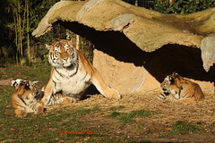 Immer diese Paparazzi (Noodles Photo) Tags: dasha arila makar duisburg zooduisburg pantheratigrisaltaica amurtiger sibirischertiger sugetier raubtier tierkinder tigercubs tiger groskatze