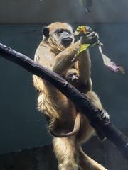 Cleveland Metroparks Zoo 06-05-2014 - Black Howler Monkey 7 (David441491) Tags: clevelandmetroparkszoo blackhowlermonkey monkey baby