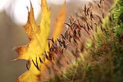 Willing to be Dazzled (Cam Miller 2016) Tags: moss bloomingmoss bokeh autumnleaf surreal macro light