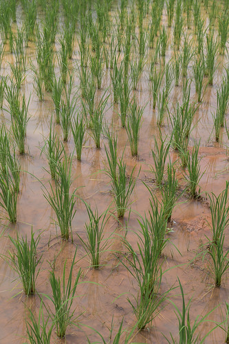 2016/07/24 13h43 rizière (village Karen)