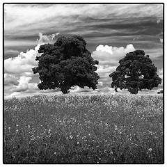 Two Trees . (wayman2011) Tags: trees bw landscapes teesdale stainton fujifilmx10
