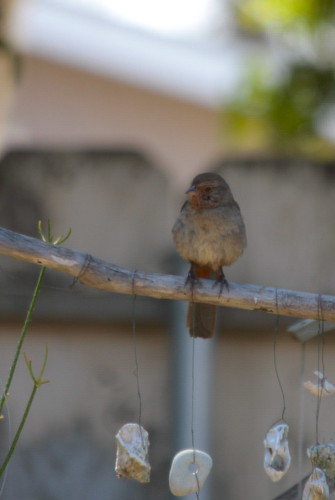 california towhee in backyard