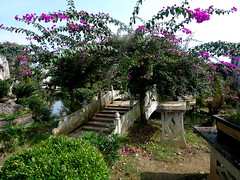Bougainvillea and bridge (ulysses68) Tags: china bridge bougainvillea bonsai guizhou cina  bonsaigarden