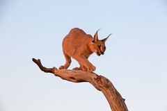 20130607_Namibia_Naankuse_Lodge_0272.jpg (Bill Popik) Tags: africa mammals namibia caracal 2places 3animals africancats