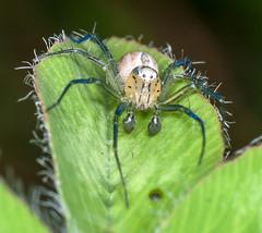Blue & White Lynx Spider (ScreaminScott) Tags: macro insects greatnature lesterdine105mmf28macrolens lesterdineringpointlight