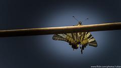 Tiger Swallowtail Butterfly (Iulian Gheorghita) Tags: macro sony f3 80200 soligor nex