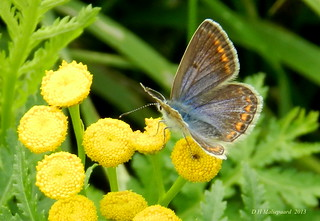 Icarusblauwtje (Polyommatus icarus - Common Blue; female)