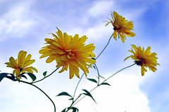 Chrysanthemums (MixedStrategy) Tags: flowers blue sky flower yellow cheery sunny mums chrysanthemum ambition chrysanthemums touchthesky ambitious reachforthesky