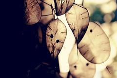 medaglie del papa (lallirrr) Tags: light shadow plant macro up leaves closeup foglie del contrast photography photo close picture pic papa seethrough trasparente pianta trasparent medaglie xbbs lallirrr