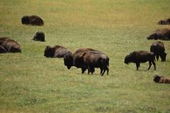 DSC_3405 (georgerocheleau) Tags: arizona buffalo bison grandcanyonnationalpark kaibabplateau northrimgrandcanyon
