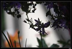 Bourdon en approche (chando*) Tags: flowers fleurs insect bumblebee bluebell insecte campanule bourdon