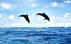 Dolphin wallpaper with dolphins jumping high out of the water (Infoway LLC - Website Development Company) Tags: wallpaper beautiful wonderful nice superb awesome images exotic hd illustrator incredible breathtaking classy mindblowing underwaterpicture softwaredevelopmentcompany ecommercewebdevelopment cartoondolphin whaleswallpaper dolphinwallpaperwithdolphinsjumpinghighoutofthewater closeupofakillerwhale whalesharkwallpaper romanticdolphinwallpaper dophinswallpaper thedolphinsstar bigwhaledivingunderwater