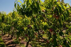 Peaches at the Farm (MrBlackSun) Tags: coast nikon oz australia tasmania aussie tas tasman tassie peninsula d300 tasmanpeninsula nikond300 southtasmania