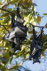 Down under (Leonardo Del Prete) Tags: nt australia hanging bats downunder northernterritory pipistrelli atestaingiù