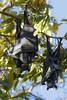 Down under (Leonardo Del Prete) Tags: nt australia hanging bats downunder northernterritory pipistrelli atestaingiù