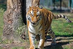 Siberian (Amur) Tiger (Brian E Kushner) Tags: new animals zoo newjersey nikon wildlife tiger may nj jersey cape courthouse siberian f28 amur 70200mm d4 capemayzoo nikor nikond4 capemaycourthouse nikon70200mmf28 bkushner brianekushner