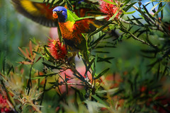 rainbow flurry (paloetic) Tags: bird nature wings rainbow bright feathers lorikeet australia perch colourful fullframe beauiful australianbirds colourimage horizontalimage 100400mmlens abouttofeed