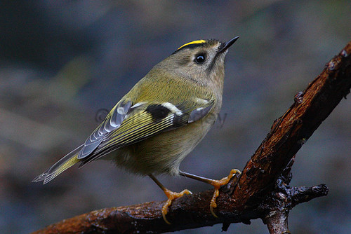 """Goldcrest, St, Mary's, 19.10.13, Martin Goodey • <a style=""""font-size:0.8em;"""" href=""""http://www.flickr.com/photos/30837261@N07/10418970433/"""" target=""""_blank"""">View on Flickr</a>"""
