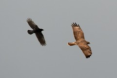 The Chase. (stonefaction) Tags: park nature birds scotland riverside dundee wildlife crow carrion buzzard faved explored