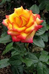Orange Rose - Parnell Rose Gardens (SKR_Photography) Tags: newzealand brown green rose garden soil auckland nz parnell bud downunder rosegardens landofthelongwhitecloud 2013 parnellrosegardens oranhge