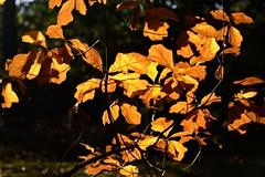 Dorure d'automne (ptit fauve) Tags: france automne nikon feuille couleurdautomne nikond800