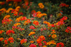 Couldn't Call It Unexpected (Thomas Hawk) Tags: california flowers usa flower unitedstates unitedstatesofamerica laguna ritzcarlton orangecounty lagunaniguel ritzcarltonlagunaniguel fav10