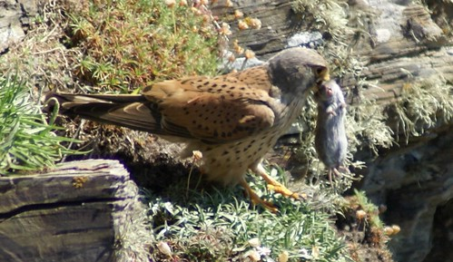 "Kestrel with prey, Trevose Head • <a style=""font-size:0.8em;"" href=""https://www.flickr.com/photos/30837261@N07/10722514344/"" target=""_blank"">View on Flickr</a>"