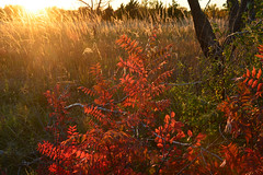 Sumac Sunset (NaturalLight) Tags: sunset sumac kansas wichita chisholmcreekpark vision:outdoor=0689 vision:sky=0587