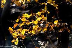Autumnleafs #3 (Reinhold.Lotz) Tags: deutschland hessen herbst natur pflanzen birke landschaften buche kirtorf sunrays5