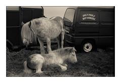 Ballinasloe Horse Fair 2013 (monosnaps) Tags: old ireland horse film october fair hp5 ballinasloe onlyfoolsandhorses id11 mallin 2013 monosnaps eddiemallin onlyfoolsbuyhorses