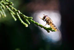 Fly praying (Ivan Radic) Tags: nikonv1 nikon1030mmf3556 nikkor1030mmf3556 1030mm macro marumidhg200 marumi5 dof bokeh blurrybackground fly praying fliege beten closeup nahaufnahme makro magnification vergröserung insect insekt achromaticlens achromat closeuplens nahlinse nikon1v1 nikon csc evil ilc mirrorless spiegellos systemkamera systemcamera