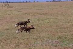 5D3_7109-Flickr (DocMac71) Tags: wild dog african afrikanischer wildhund