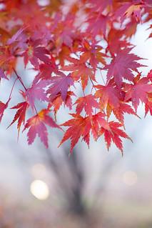 Lighting Maple