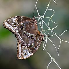Common Morphos are mating... abdomen to abdomen (jungle mama) Tags: mating morphopeleides fairchildgarden fairchildtropicalbotanicgarden butterfliesmating supershot specanimal commonmorpho fabuleuse coth5 mygearandme mygearandmepremium mygearandmebronze sunrays5 wingsofthetropics morphosmating