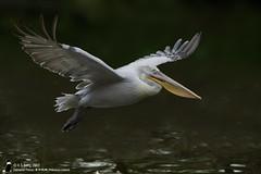 _0034712 (K S Kong) Tags: pelican jbp nikonafs80400mmf4556g dalmatianpelican
