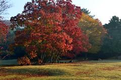 飛火野のナンキンハゼ (myu-myu) Tags: autumn tree nature japan nikon deer autumncolors explore 紅葉 秋 d800 奈良 鹿 ナンキンハゼ sikadeer chinesetallowtree 飛火野 triadicasebifera