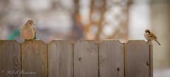 Dove & Sparrow Havin' a Rest (Rick Smotherman) Tags: wood morning winter stpeters nature birds canon outdoors morninglight backyard december cloudy dove wildlife overcast sparrow 7d cloudysky songbirds canon300mmf4l missouribirds canon7d