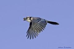 Blue Jay (Andrew's Wildlife) Tags: blue jay