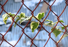 Caged Branch (mikeeliza) Tags: red green nature beautiful leaves metal fence branch background philippines structures free chain caged rusted ugly link manila manmade civilization mikeeliza