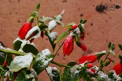 Irbid  / Jordan (kamalalsanea) Tags: old snow mercedes jordan bmw hyundai pajero ksa irbid