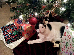 ...And a Feline Under the Christmas Tree! (MistrallaMilky) Tags: old pet man cat feline freckles