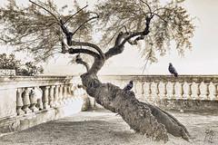 # (Points-of-View) Tags: city tree art water coast town pigeon dove fine croatia montage railing antic opatija jollas